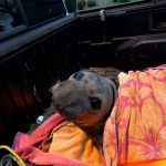 "First responders rescue young Elephant Seal ""Elwood"""