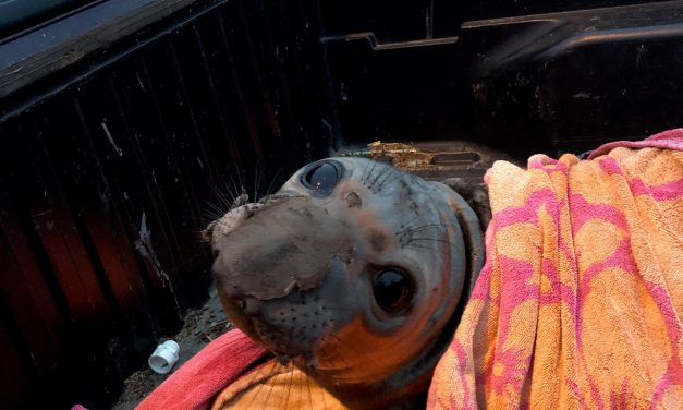 """First responders rescue young Elephant Seal """"Elwood"""""""